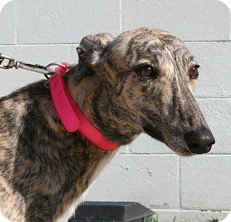 Greyhound Dog for adoption in Knoxville, Tennessee - Guru