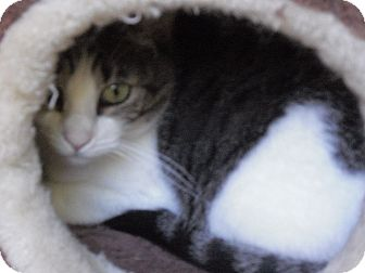Domestic Shorthair Cat for adoption in Wickenburg, Arizona - Madre