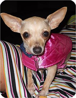 Chihuahua Dog for adoption in Hilliard, Ohio - Venus