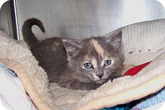 Domestic Shorthair Kitten for adoption in Dover, Ohio - Mercury