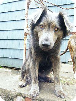 Keeshond/Australian Shepherd Mix Dog for adoption in Manhasset, New York - Adoption Pending -- Teddy