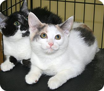 Domestic Shorthair Kitten for adoption in Asheville, North Carolina - Bo Peep