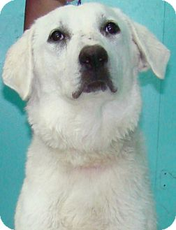 Great Pyrenees/Labrador Retriever Mix Dog for adoption in Tulsa, Oklahoma - Cotton *Adopted