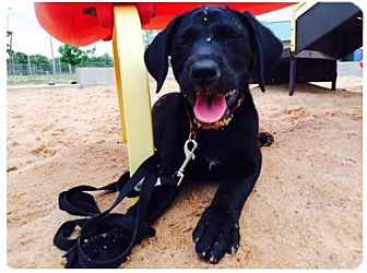 Labrador Retriever/Plott Hound Mix Puppy for adoption in Wichita Falls, Texas - Avaline