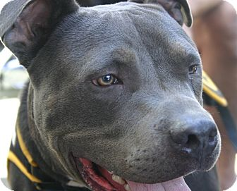 American Pit Bull Terrier Mix Dog for adoption in Lincoln, California - BoBo