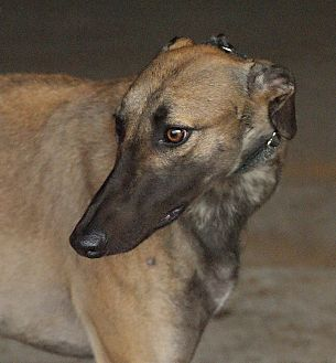 Greyhound Dog for adoption in Portland, Oregon - Firewater