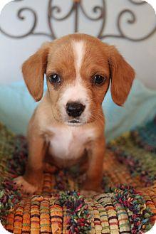 Cocker Spaniel/Labrador Retriever Mix Puppy for adoption in Southington, Connecticut - Knox