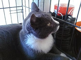 Domestic Shorthair Cat for adoption in Miami, Florida - Carly
