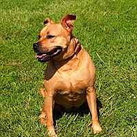 American Staffordshire Terrier/Staffordshire Bull Terrier Mix Dog for adoption in Tanner, Alabama - Lil Jen