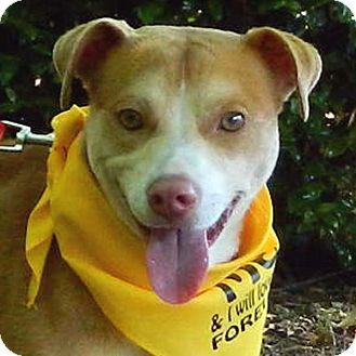 Beagle/Brittany Mix Dog for adoption in McCormick, South Carolina - Gunner