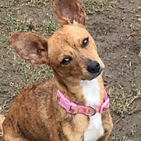 Chihuahua Mix Dog for adoption in Southlake, Texas - Alice