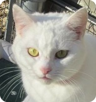Domestic Shorthair Cat for adoption in Aiken, South Carolina - SNOWBALL