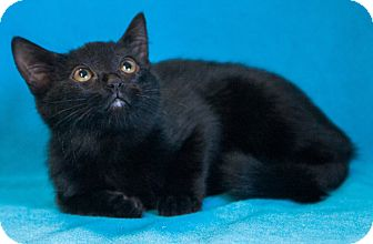 Domestic Mediumhair Cat for adoption in Las Vegas, Nevada - Modena