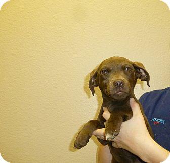 Schnauzer (Miniature)/Basset Hound Mix Puppy for adoption in Oviedo, Florida - Susie