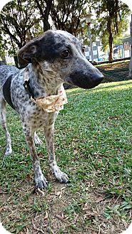Shepherd (Unknown Type) Mix Puppy for adoption in Sunnyvale, California - Mathias