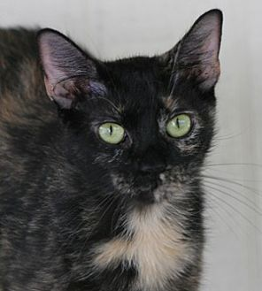 Domestic Shorthair Cat for adoption in North Fort Myers, Florida - Parka