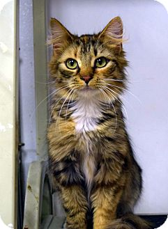 Domestic Longhair Cat for adoption in Albion, New York - Takara