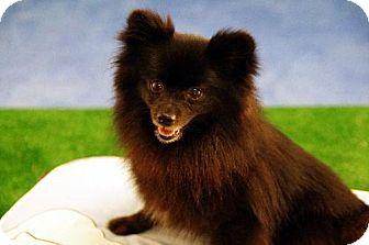 Pomeranian Dog for adoption in Dallas, Texas - Pistol Annie