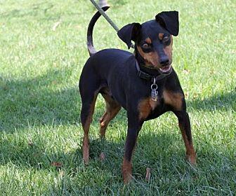 Miniature Pinscher Dog for adoption in El Segundo, California - Dexter