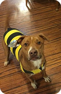 Labrador Retriever/American Staffordshire Terrier Mix Dog for adoption in Chattanooga, Tennessee - Bo Dog