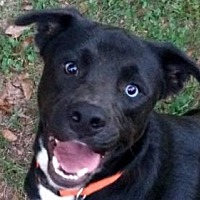 Adopt A Pet :: Blue - Winder, GA