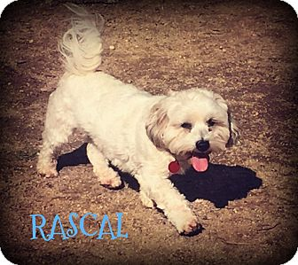 Bichon Frise/Shih Tzu Mix Dog for adoption in Phoenix, Arizona - RASCAL