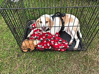 Pointer/Beagle Mix Dog for adoption in Morriston, Florida - Lizzie
