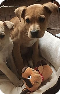 Labrador Retriever/Shepherd (Unknown Type) Mix Puppy for adoption in Baltimore, Maryland - Bethany