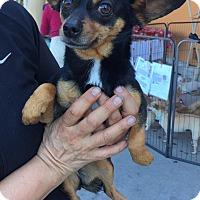 Adopt A Pet :: Stella - Santa Ana, CA