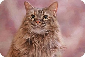 Domestic Longhair Cat for adoption in Sterling Heights, Michigan - Willow Louise (w/Nala Jeanne)