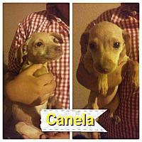 Adopt A Pet :: Canela - LAKEWOOD, CA