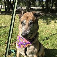 German Shepherd Dog/Collie Mix Dog for adoption in Edgewater, New Jersey - Tyson
