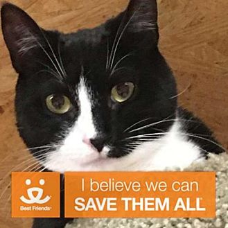 Domestic Shorthair Cat for adoption in New City, New York - Betty