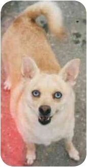 Chihuahua/Shiba Inu Mix Dog for adoption in Chicago, Illinois - Taz (ADOPTED!)