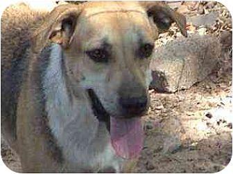 German Shepherd Dog/Hound (Unknown Type) Mix Dog for adoption in Tyler, Texas - TG-Haley