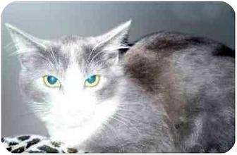 Domestic Mediumhair Kitten for adoption in San Clemente, California - FLAUTA