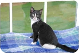 Polydactyl/Hemingway Kitten for adoption in Colmar, Pennsylvania - Dancy