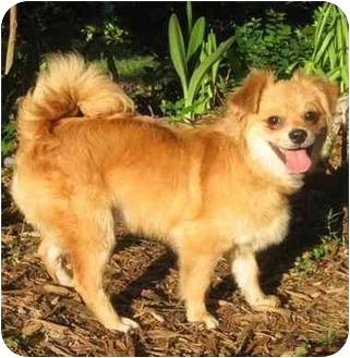Cocker Spaniel/Pomeranian Mix Puppy for adoption in Sugarland, Texas - Magoo