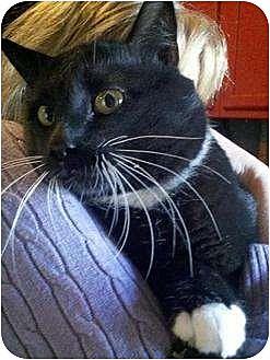 Domestic Shorthair Cat for adoption in Trexlertown, Pennsylvania - Bruce