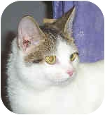 Domestic Shorthair Cat for adoption in Murphysboro, Illinois - Baby Ruth