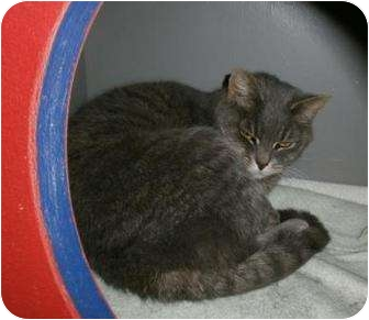Domestic Shorthair Cat for adoption in Seville, Ohio - Diva
