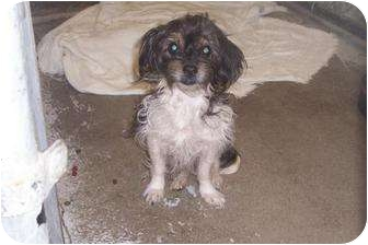Terrier (Unknown Type, Small) Mix Dog for adoption in Mt. Vernon, Illinois - Marley