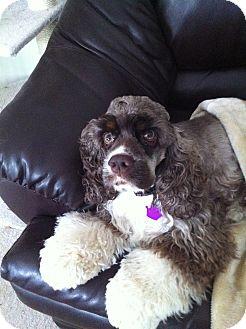 Cocker Spaniel Dog for adoption in batlett, Illinois - Gertie
