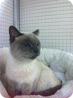 Siamese Cat for adoption in Trevose, Pennsylvania - Sinatra