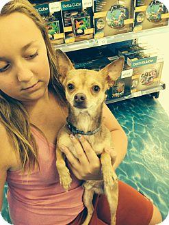 Chihuahua/Miniature Pinscher Mix Dog for adoption in Ogden, Utah - Copper