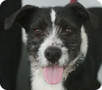 Border Collie/Terrier (Unknown Type, Medium) Mix Dog for adoption in Canoga Park, California - Rudy