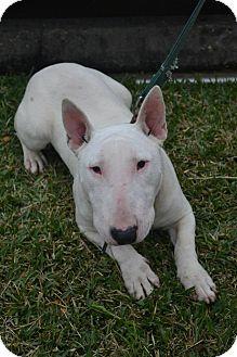 Bull Terrier Puppy for adoption in Houston, Texas - Bowzer