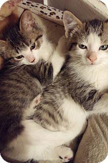 Domestic Shorthair Kitten for adoption in Toledo, Ohio - Calvin