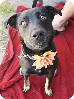 Labrador Retriever Mix Dog for adoption in Huntsville, Alabama - Penny