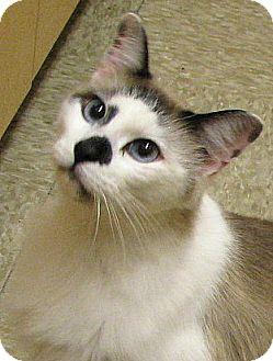 Snowshoe Cat for adoption in Tulsa, Oklahoma - Cruise